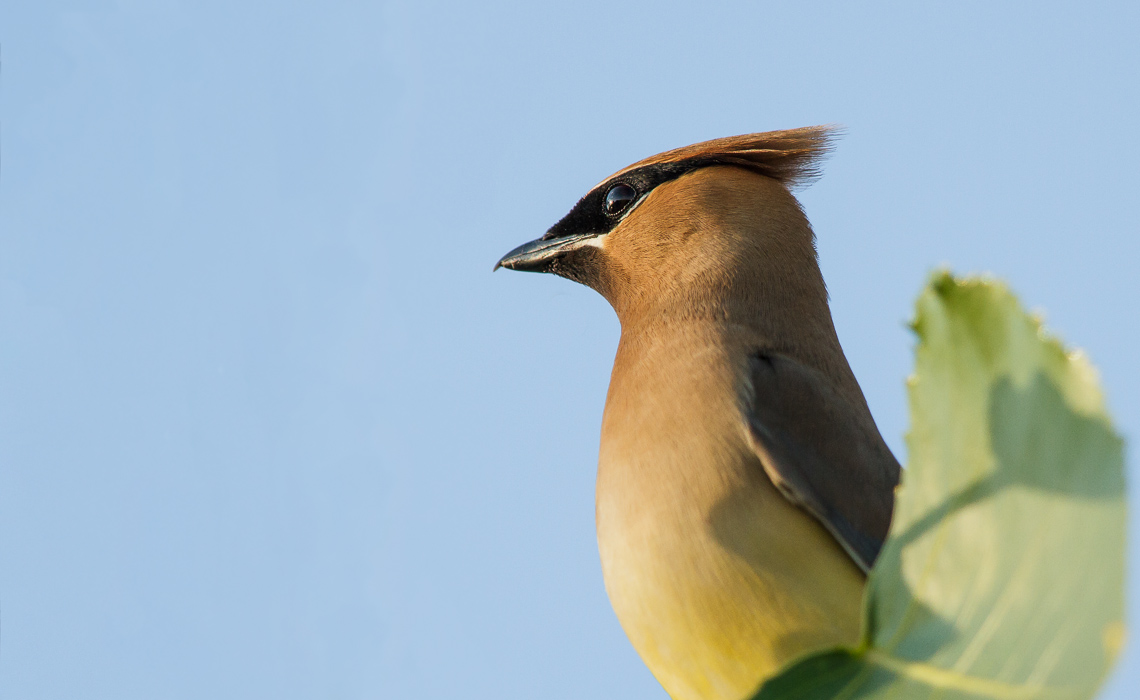 Cedar Waxwings (1 of 3)