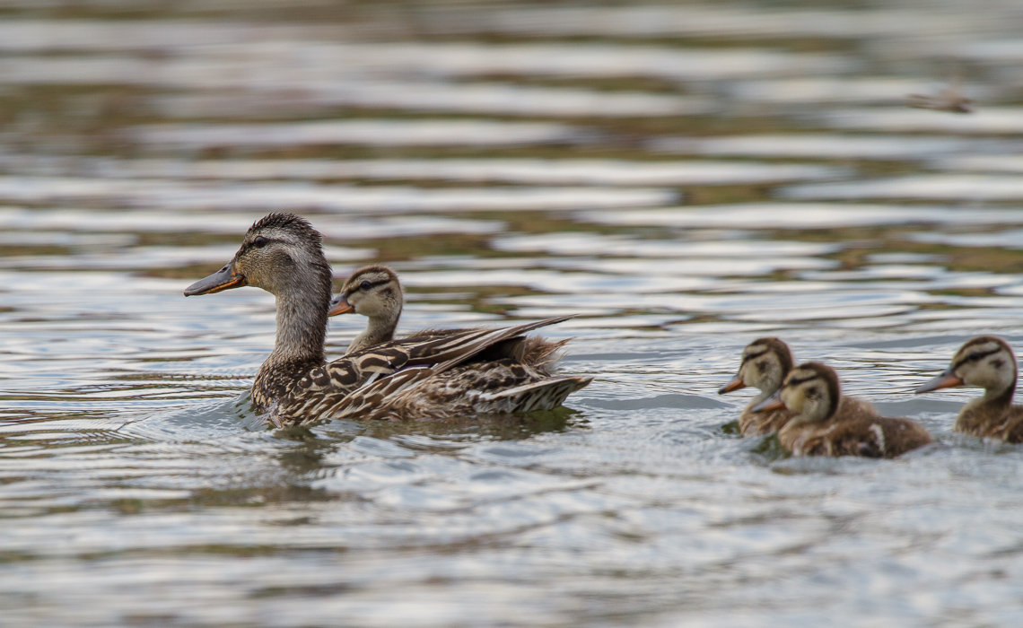 Mama's Ducklings (1 of 1)