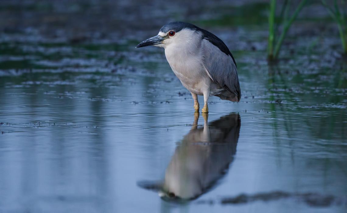 Night Heron at Night
