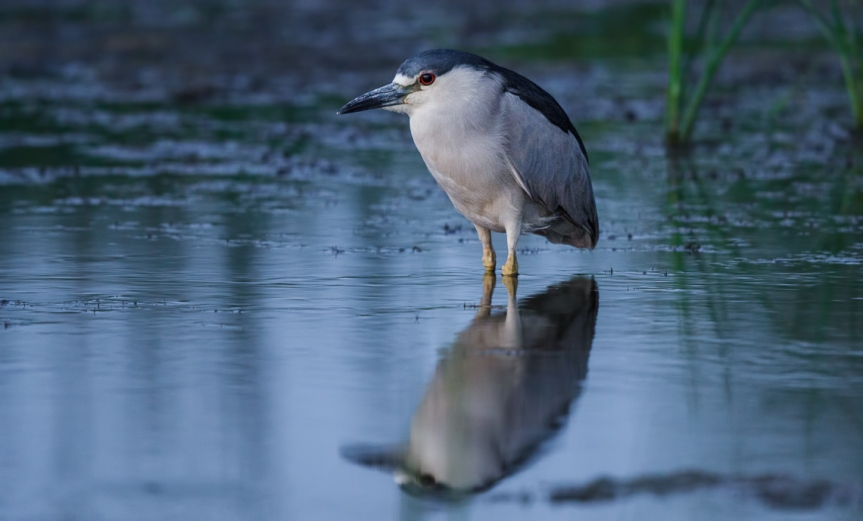 Night Heron at Night