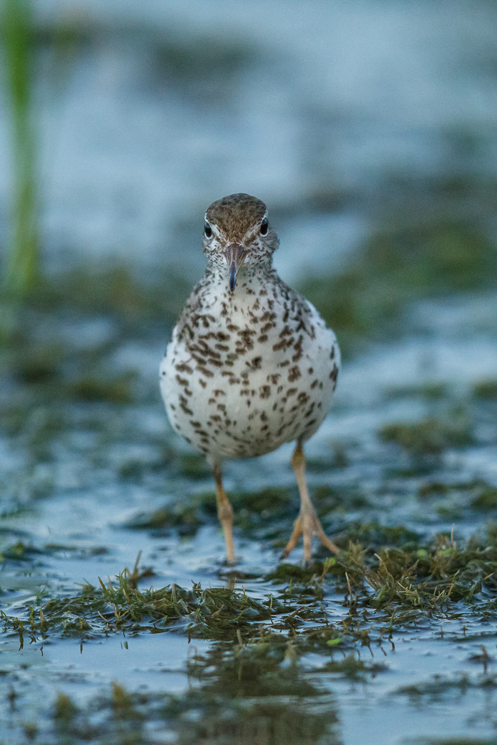 Piper on the Pondweed