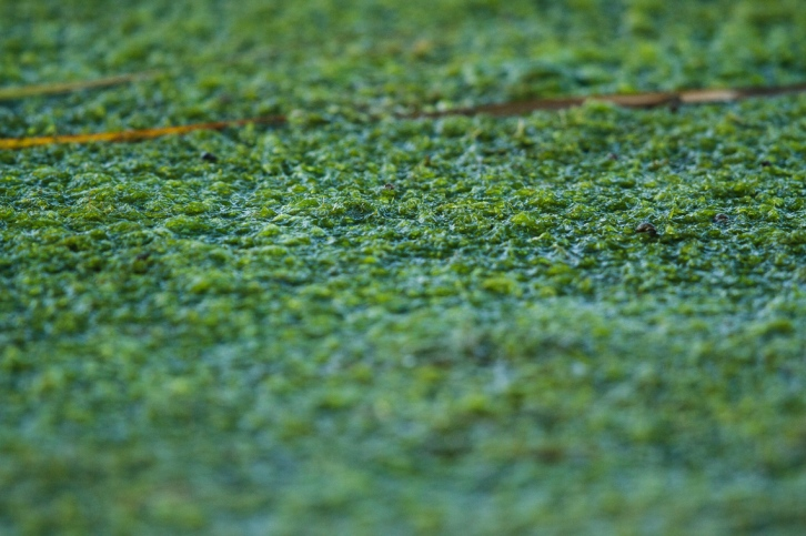 A mat of Pondweed