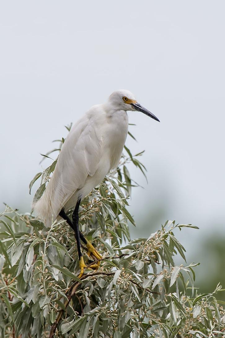 Snowy Egret Treetop