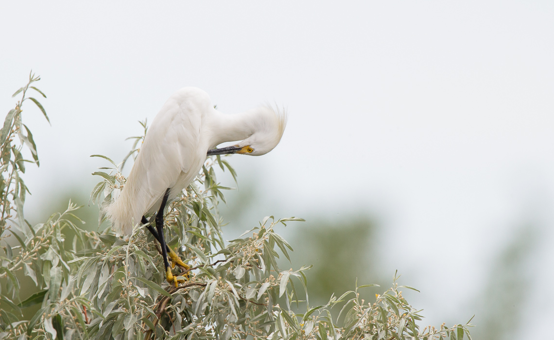 Snowy Egret Treetops (5 of 6)