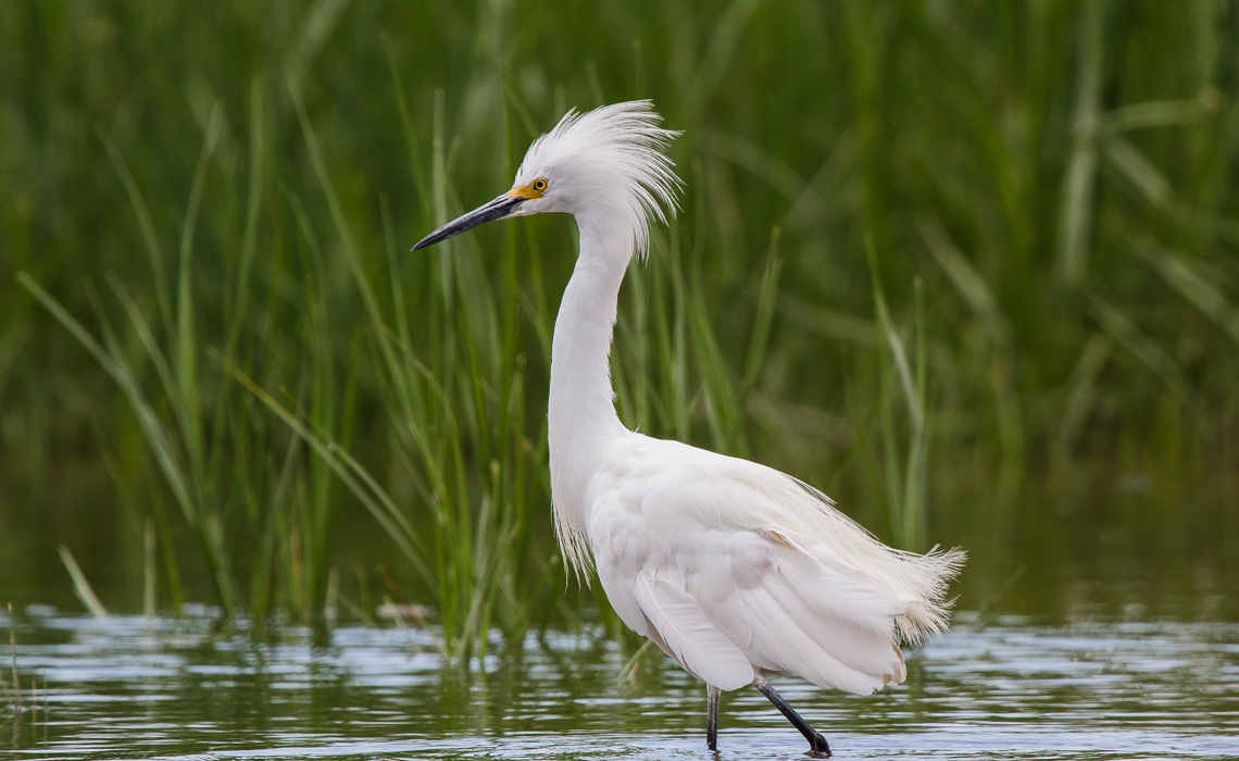 Snowy Egrets at Cottonwood Creek (2 of 8)