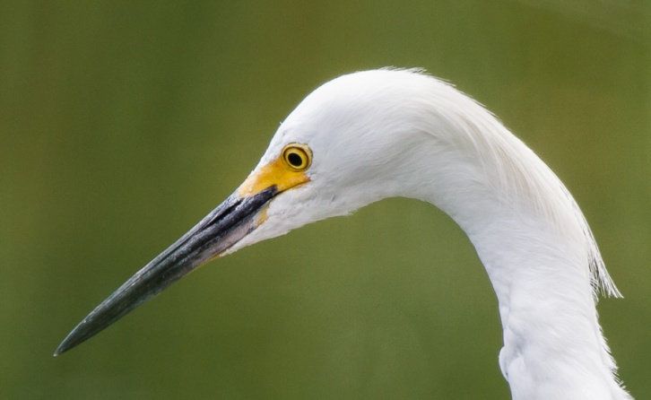 Hunting Egret Closeup