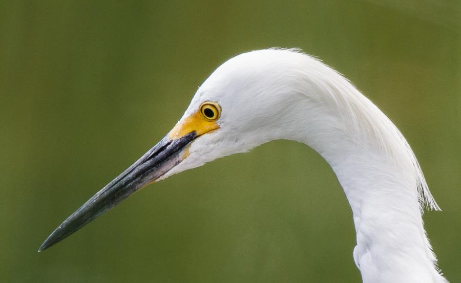 Hunting Egret Closeup