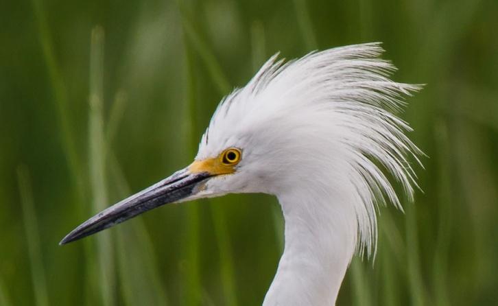 Egret Flaring Plumage