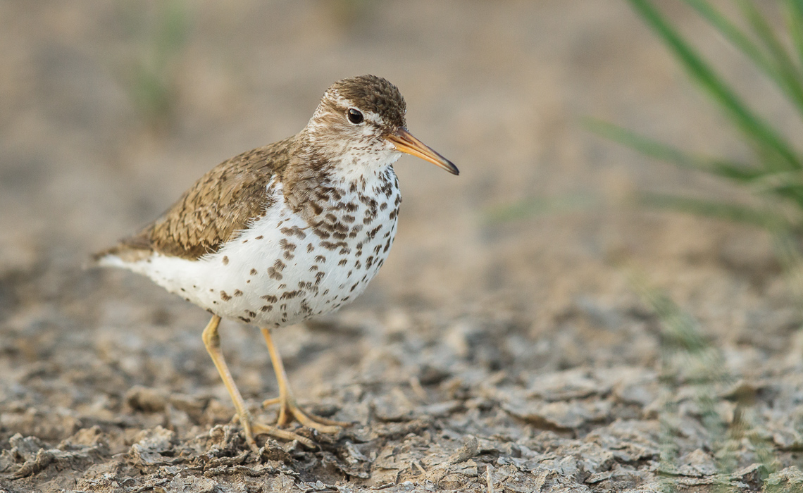 Spotted Sandpiper On the Defensive (3 of 5)
