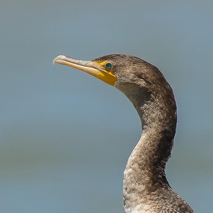 Cormorant Closeups