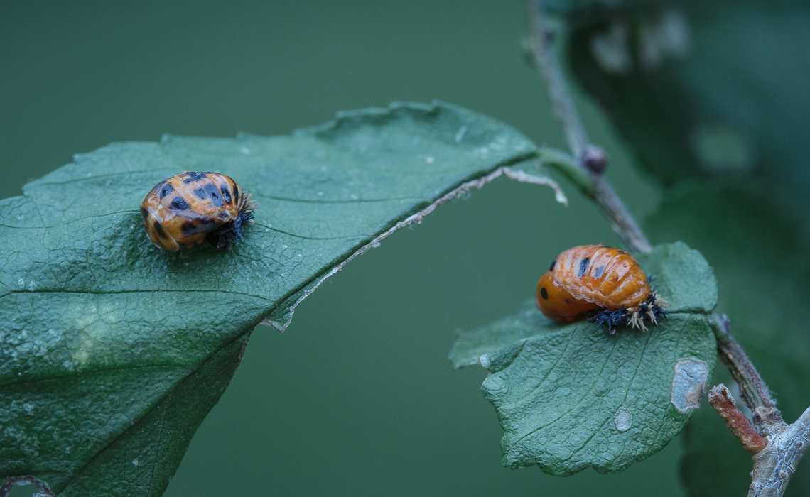 Pupating Lady Bugs (2 of 4)