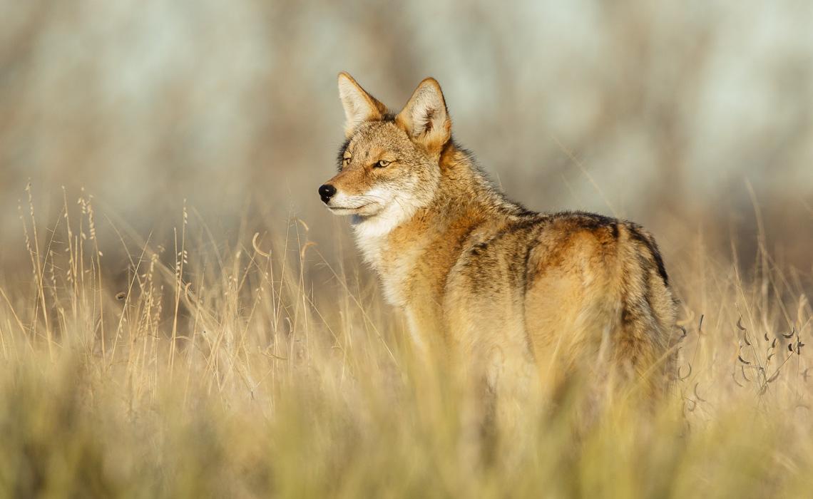 Christmas Coyote