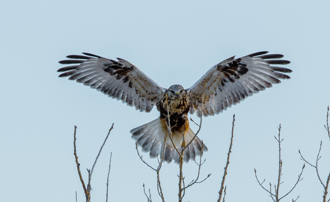 Ferruginous Hawk-3