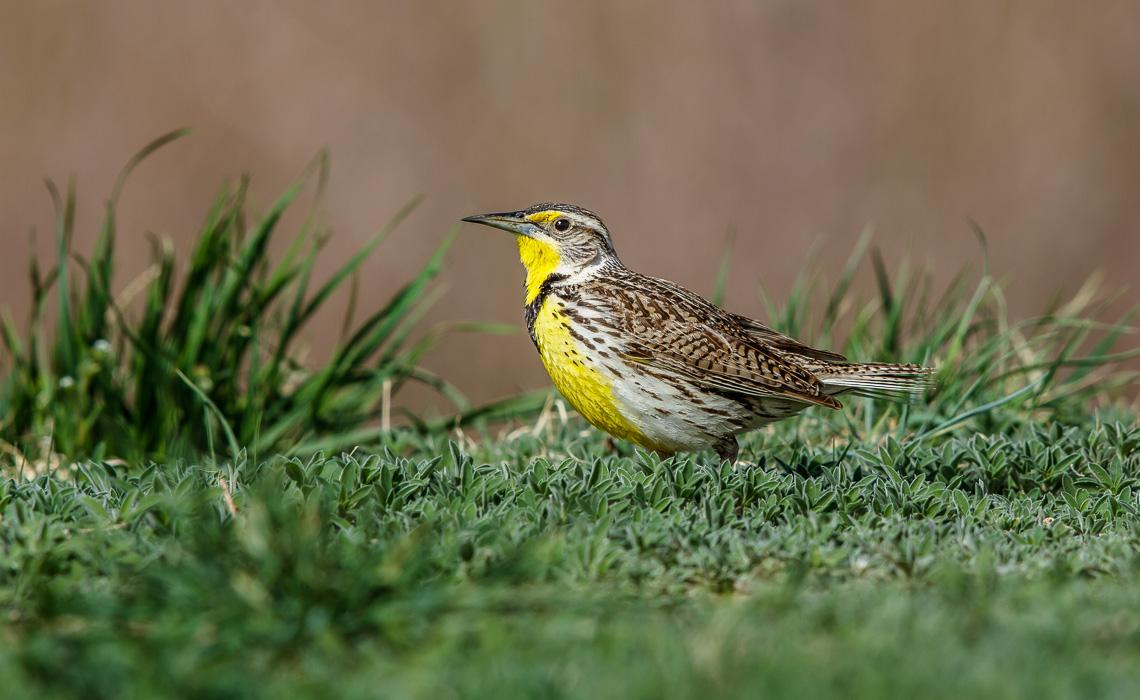 Western Meadowlark-2