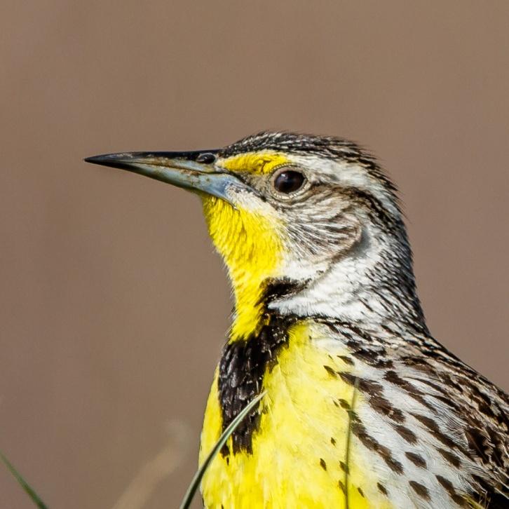 Western Meadowlark Portrait