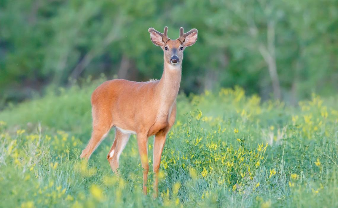 Curious Deer-6