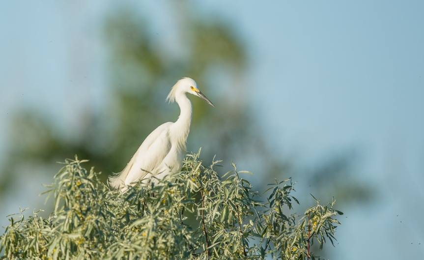 First Snowy Egret with the 5D III-1
