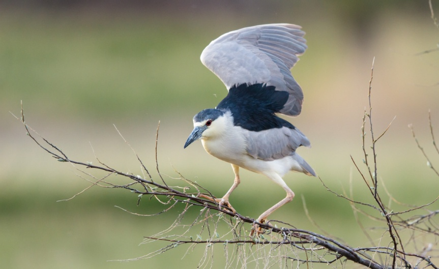 Night Heron-2