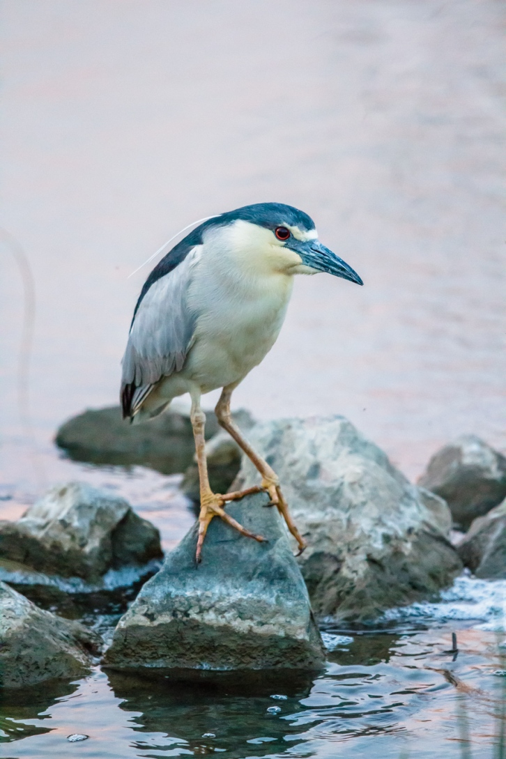 Night Heron Tall-1