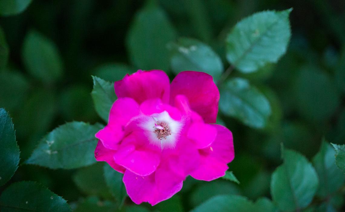 Rose Bush-9