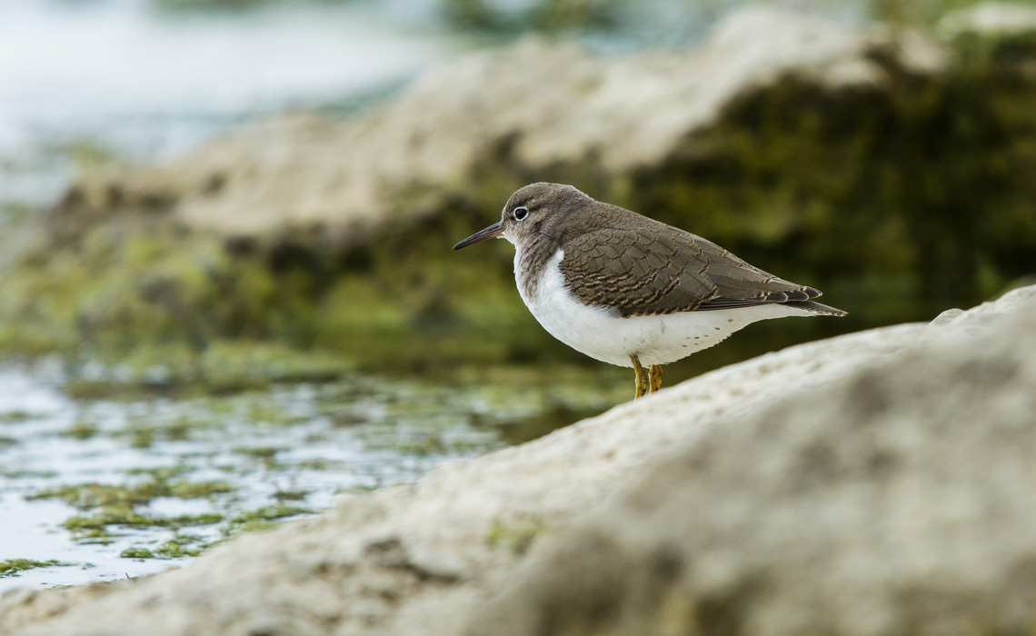 Spotted Sandpiper Non-Breeding-6