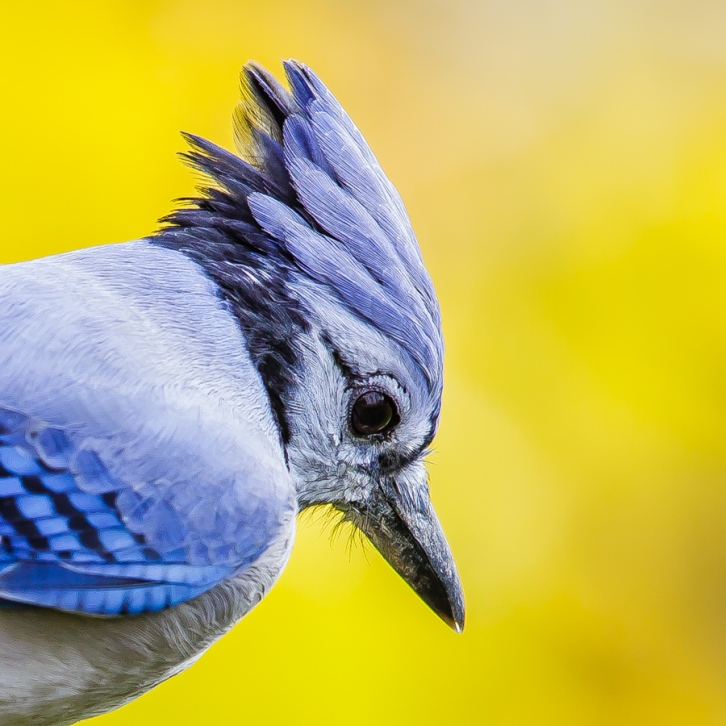 Blue Jay Portrait - With Crest