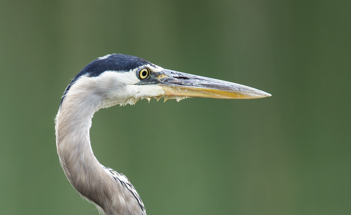 Great Blue Heron Dam Portrait-1