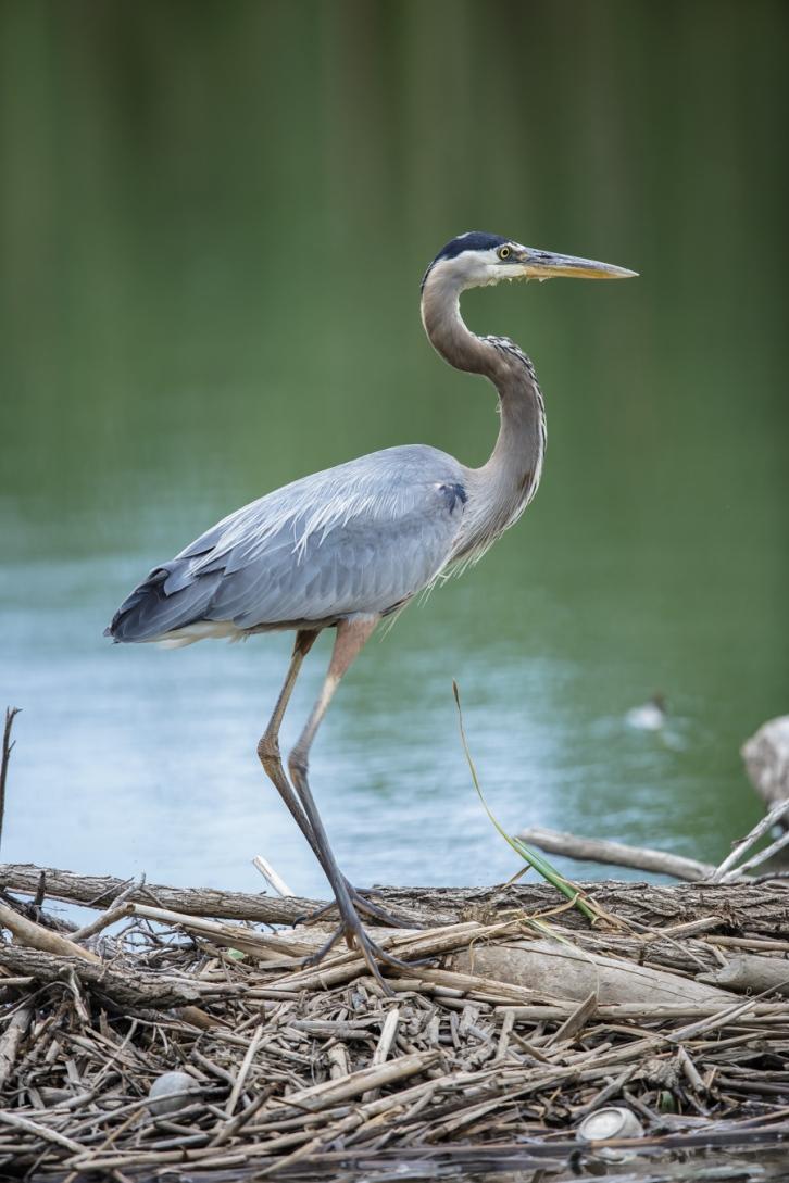 Great Blue Heron on Dam-1