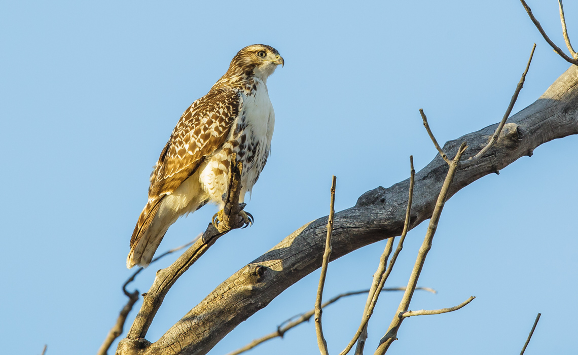 Red Tailed Hawk Perching Comfortably-3