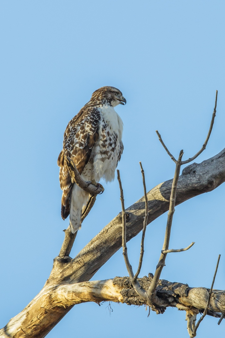 Red Tailed Hawk Perching Comfortably - Tall-1