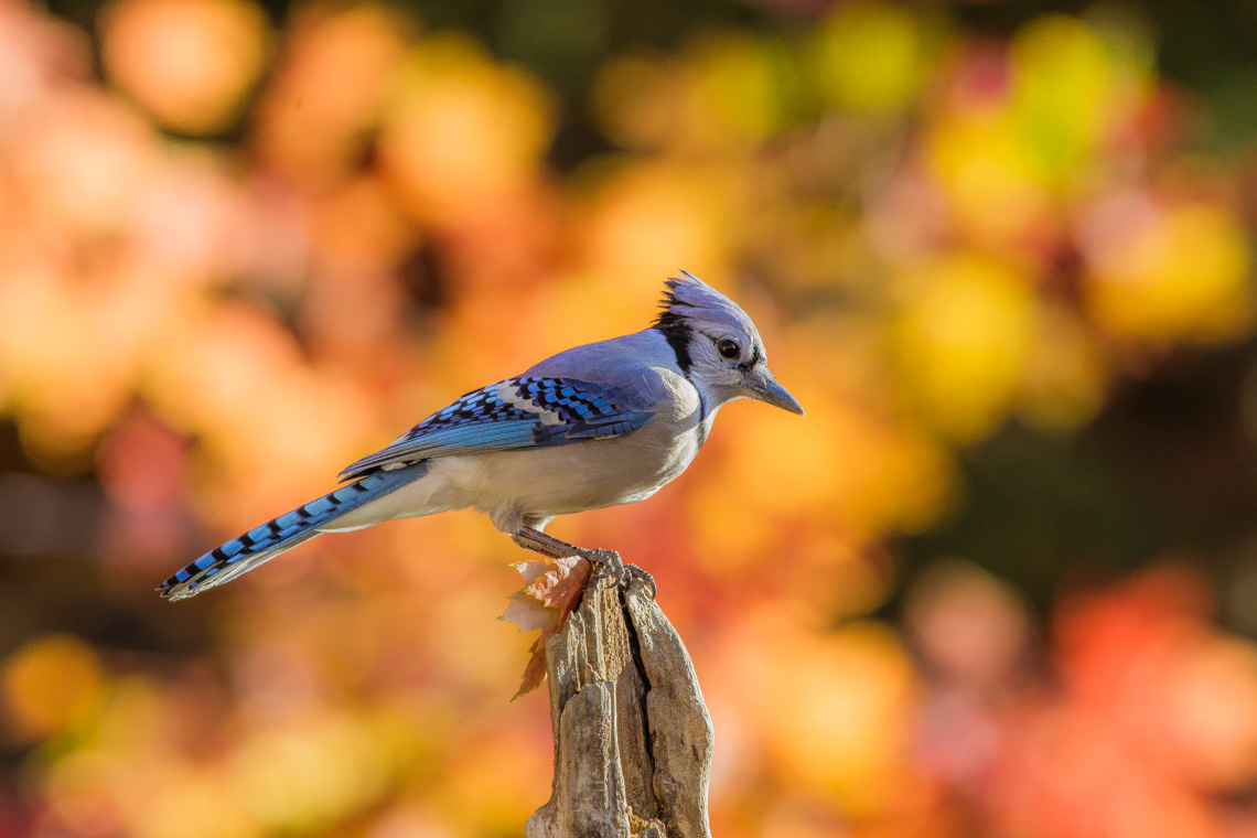 The Blue Jay and the Conucopia of Peanuts-7