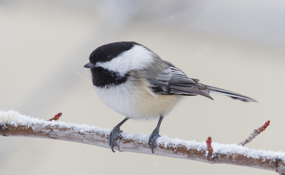 Midwinter Birds - Black Capped Chickadee