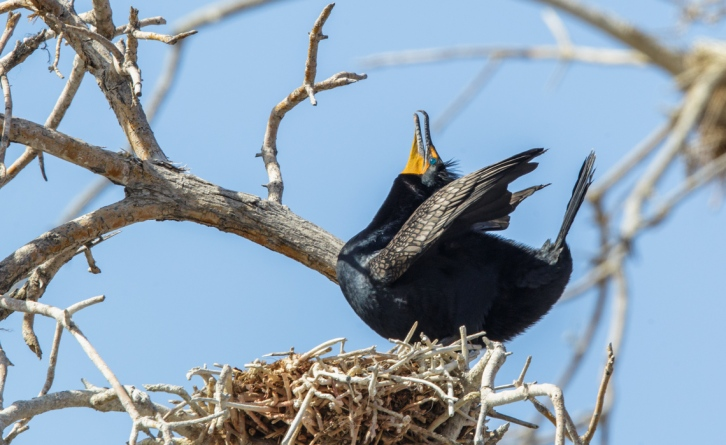 Male Double-Crested Cormorant  in mating pose