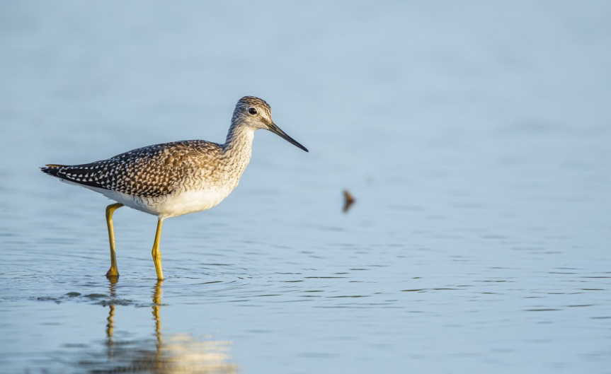 Yellowlegs-1